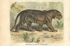 Stampa antica TIGRE NELLA SAVANA TIGER 1891 Old antique print