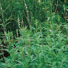 Suffolk Herbs - Vervain - 500 Seeds