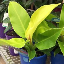 IMPERIAL GOLD Philodendron tropical indoor house plant in 140mm pot