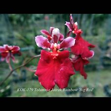 Tolumnia Jairak Rainbow 'Big Red' (Equitant Oncidium - Clone)