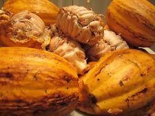 Lot of 2 Pots ~2 Feet Each Theobroma Cacao Cocoa Chocolate Fruit Tree Plant