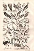 1874 Imprimé Ornithology Autruche Emeu Chouette Etc