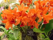 """23-Lc. Fire Dance """"Patricia"""" Spring Cluster Bloomer! Easy to grow and bloom!"""