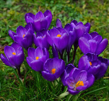 "Bolly Bulbs® Crocus ""Remembrance"" Vibrant purple flowers,easy to grow anywhere"