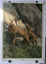 Old Wall Picture Chamois Chamois Chamois Gams Gams Wild Chamois 64x92 ~ 1955 Vintage Chart