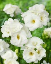 FREESIA WHITE SUMMER FLOWERING BULBS/CORMS PERENNIAL GARDEN POT PLANTING SPRING