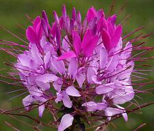 SPIDER FLOWER VIOLET QUEEN Cleome Hasslerianai - 100 Bulk Seeds