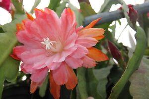 """Epiphyllum Blattkakteen Epicactus /""""Dieter Biletzke/"""" Jungpflanzen"""