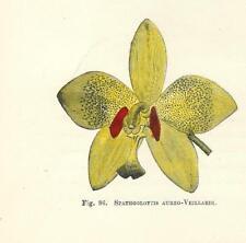 Stampa antica FIORE ORCHIDEA SPATHOGLOTTIS botanica 1896 Antique print