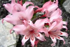 Gladiolus Carneus 8 Seeds, Painted Lady Garden Or Container Plant From USA