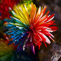Egrow 20Pcs Rainbow Chrysanthemum Flower Seeds Rare Color Home Garden Bonsai Pla