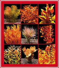 5 Bund Rote Wasser-Pflanzen Für'S Aquarium