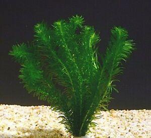 5 - 50 Oxygenating Pond Tropical Aquarium Live Plants  Egeria Elodea Densa loose
