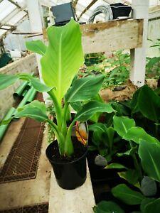 Musella lasiocarpa, 40-50 Cms, 1l Pot, Fully Est. Chinese Lotus Flower, Half...