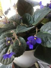 African violet Original two 2 leaves