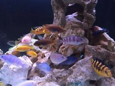 I Have A brilliant offer of 20 beautiful Malawi Cichlid Juveniles 4/5cm plus.