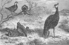 BIRDS. Pigeons, Plumed Colins, Derbyan Screamer, antique print, 1863