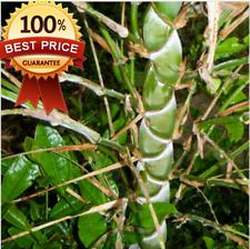 50pcs+ Fresh Snake Bamboo Tree Seeds Bambusa Lako seeds! HOT RARE ! HOT HOT!