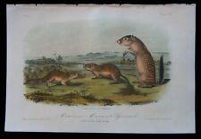 1854 Original Audubon 1st Ed Octavo Mexican Ground Squirrel Quadruped Plate 109