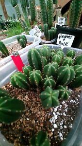 Echinopsis cactus scop Heynes x Hulk rooted plant