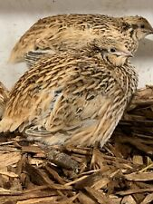 12 Jumbo Coturnix golden Quail Hatching Eggs organic high fertility