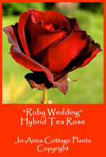 RUBY WEDDING HT ROSE - SCENTED REPEAT SPRING FLOWERING BARE ROOTED ** 4 FOR 3 **