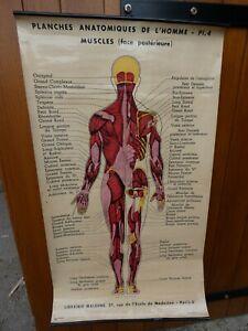 Antiquité Scolaire Planche 4 Anatomique de l'Homme Librairie Maloine Paris 1930