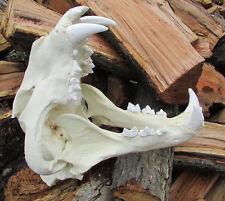 Giant liger skull lion tiger hybrid skull taxidermy cast replica