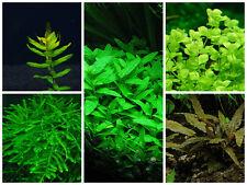 Plants Combo Pack 1 - Live Aquarium/Fish Tank Plant
