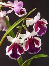 Ponerorchis graminifolia Spiking 2 Inch Vivid Flowers Variable Colors Import