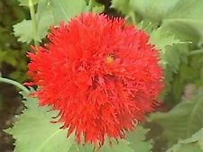 100 Red Oase Peony Poppy Papaver Peoniflorum Double Flower Seeds *Flat Shipping!