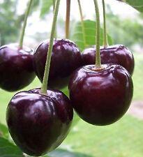 Süßkirsche 'Kordia'  Selbstfruchtbarkeit, Zwergobst / Mini-Obstbäume 2 Jährig