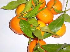100% Naturreines Ätherisches MANDARINENÖL rot,(Citrus reticulata)Italien,10ml