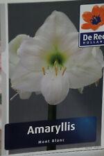 Amaryllis, Ritterstern, Hippie, Mont Blanc