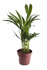 für drinnen: eine Palme, welche die Luft säubert: die schöne Bergpalme !