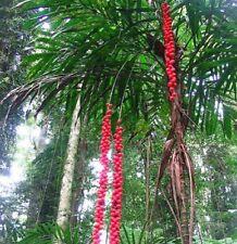 WALKING STICK PALM Linospadix monstachya native tropical plant in 200mm pot