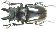 Insect - Odontolabis dalmanni dalmanni - Sumatra - Male 55mm+ ....!!