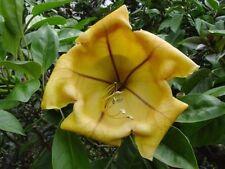 "Cup of Gold Vine - Solandra maxima Plant - 1 Feet Tall - Ship in 4"" Pot"