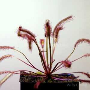 """Drosera capensis """"Red"""", 25s, Carnivorous Plant Sundew Seeds"""