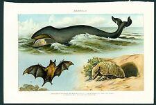 Mammalia / Mammals - 1902 Vintage Print Julius Bien (Right Wale; Armadillo; Bat)