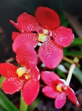 Sarcochilus Ella's Ruby Orchid Red Flowering Seedling