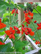 Phaseolus Coccineus 10 Or 50 Seeds, Scarlet Emperor Runner Bean Vine Non-Gmo