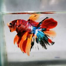 Live Betta Fish - Male - Koi SUper Rainbow Candy Halfmoon (AMMAUG109)