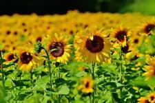 Sunfower Perfume Oil Roll On Bottle Rollerball Sunshine Floral Flower Scent Gift
