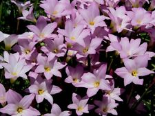 Pink Rain Lily   Zephyranthes robusata   10 Fresh Seeds   (Free Shipping)