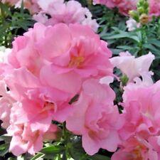 Flower seeds Antirrhinum majus maximum Pink tall Ukraine