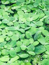 New listing 8 Water Lettuce Sm/Baby Water Lettuce Freshwater Floating Plants Ponds/Tanks