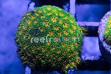 Jason Fox John Deere Leptastrea-Coral Frag SPS Monti LPS ReefNation Zoa