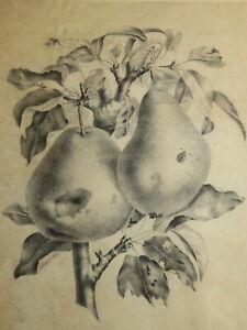 Ecole FRANCAISE XIX DESSIN CRAYON BOTANIQUE POIRE FRUITS suiv P.J REDOUTE 1830
