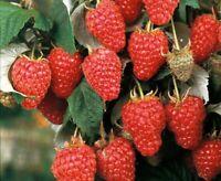 "Raspberry Fruiting Shrub ""Heritage"" FREE SHIP Canes - 3"